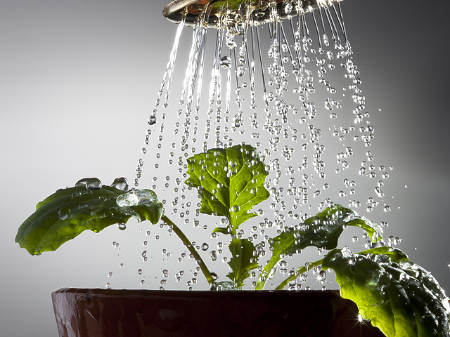 Watering can rose above a young lettuce plant